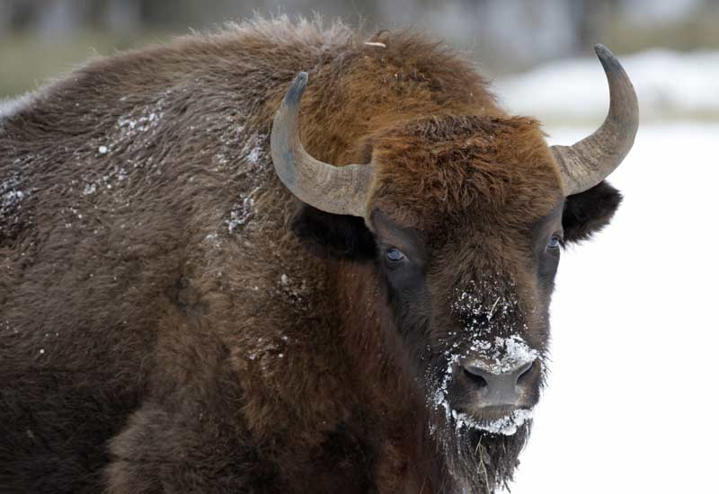 Bison - coming to a plate in Riyadh soon. [AFP/Getty Images]