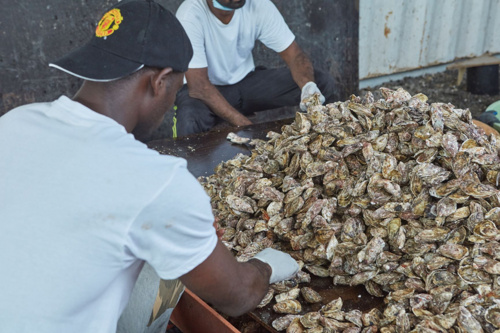 There's been a steep decline in demand for Dibba Bay oysters